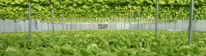 lettuce-greenhouse-where-to-buy